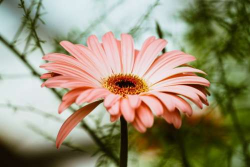Light Pink Gerbera Daisy Photo