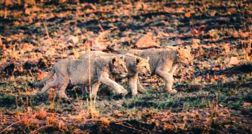 Lion Cubs Exploring For Food Photo