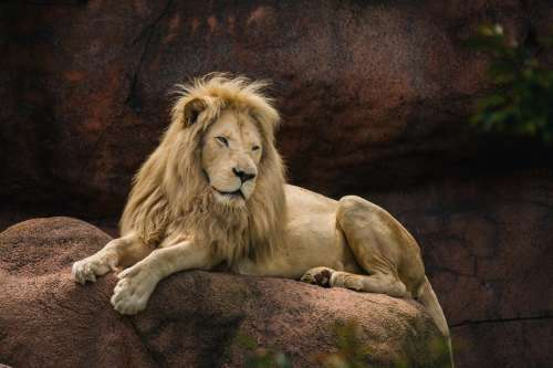 Lion Laying On Rock Photo