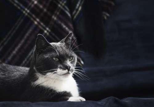 Majestic Grey Cat Photo