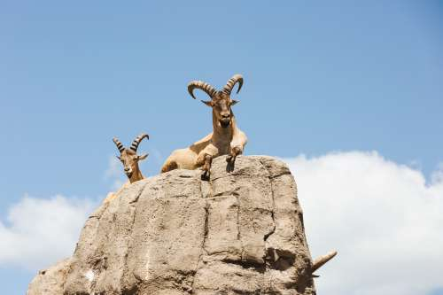 Mountain Goat On Rocks Photo