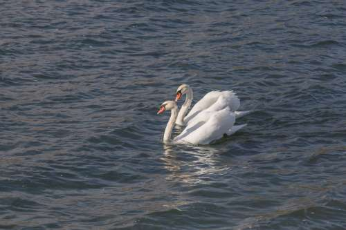 Pair Of Swans Photo