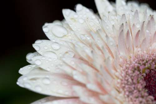 Pale Pink Flower With Water Drops Photo