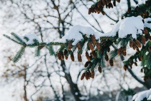 Pine Cones Dangling From Snowy Tree Photo