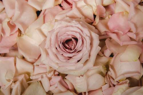 Pink Rose and Petals Photo