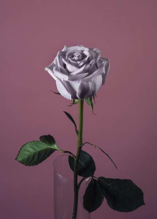 Pink Rose On Pink Photo