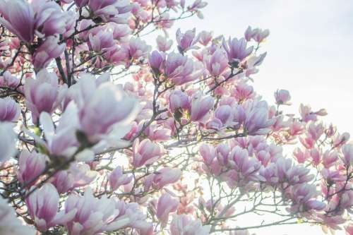 Pink Spring Tree Blossoms Photo