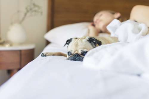 Pug Gets Cozy In The Morning Photo