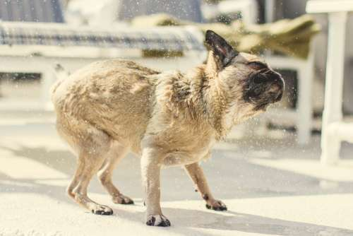 Pug Pup Shakes Off Water Photo