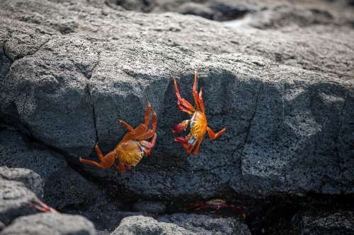 Red Crabs On Rocks Photo