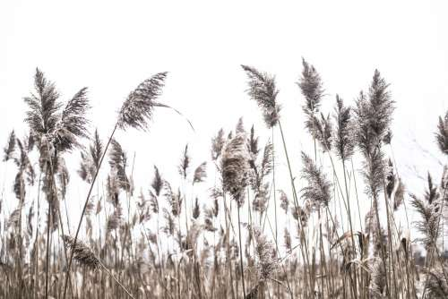 Reeds Flow In The Breeze On A Cloudy Day Photo