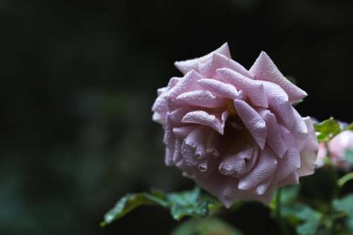 Rose With Water Droplets Photo