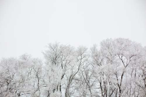 Snow Covered Giants Of Nature Photo