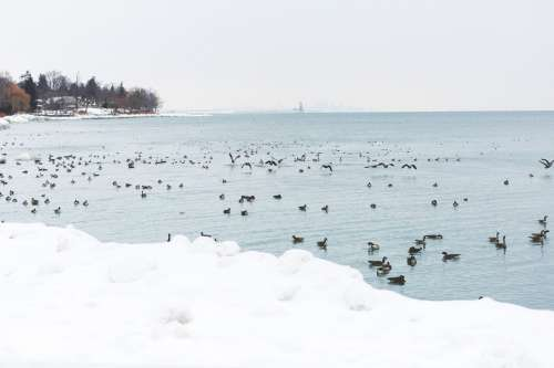 Snow Geese On Icy Water Photo