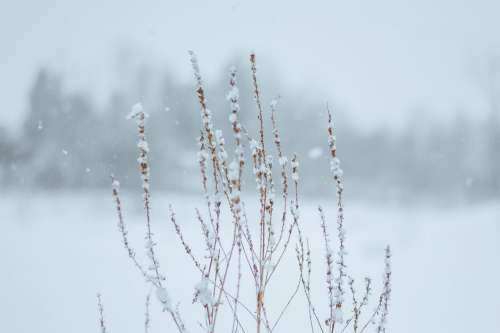 Snowfall On Withered Plant Photo