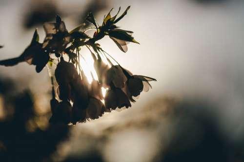 Sunny Cherry Blossom Silloutte Photo