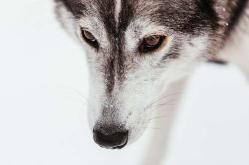 The Face Of A Sled Dog Sprinkled With Snowflakes Photo