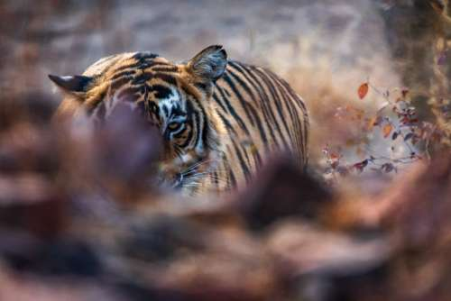 Tiger Resting On Forest Floor Photo