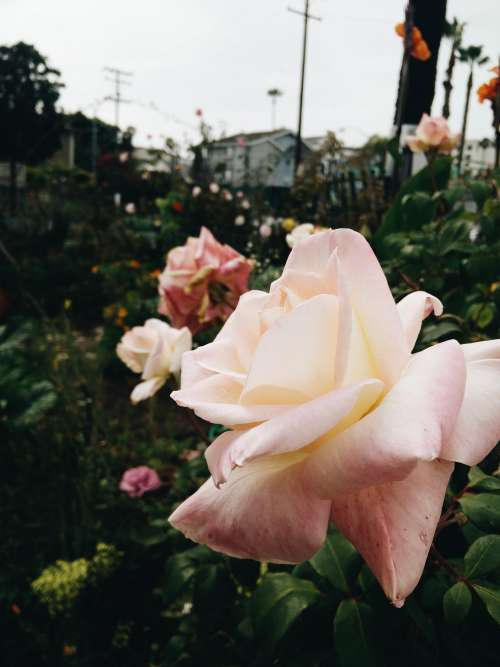 Urban Rose Garden Photo