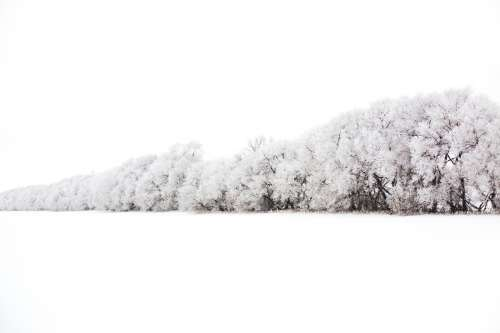 Wall Of Trees Burdened With Snow Photo
