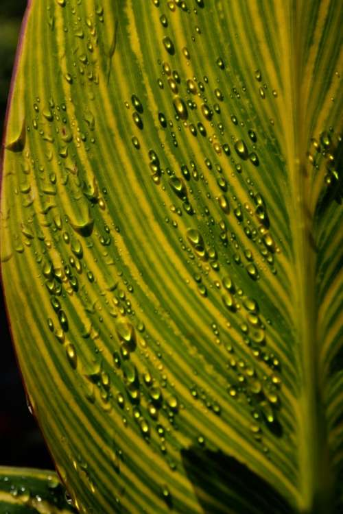 Water Droplets Gather On Large Green Leaf Photo