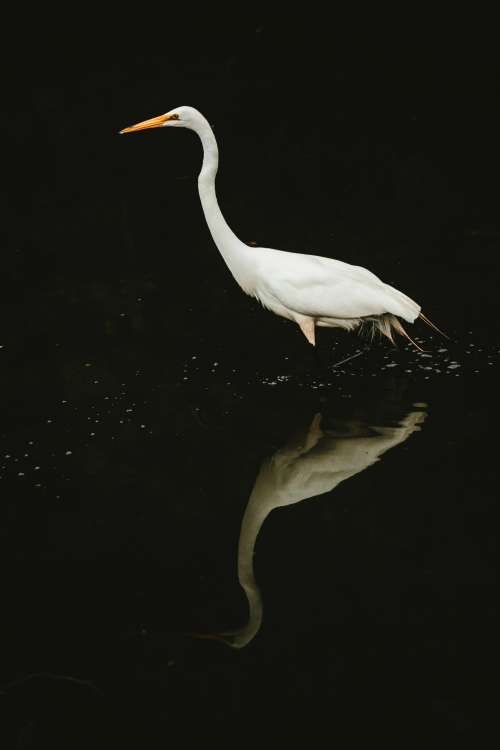 White Crane Water Reflection Photo