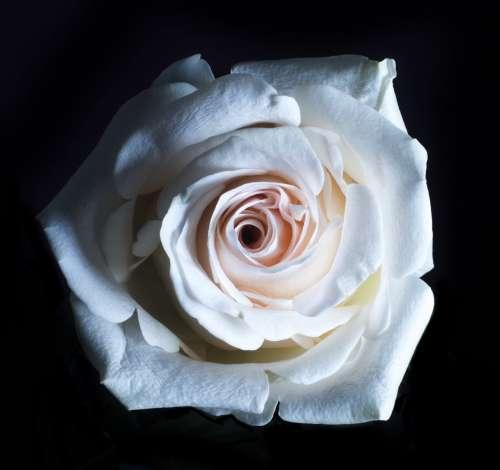 White Rose Close Up Photo