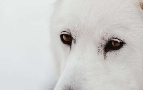 White Sled Dogs Face Camouflages With Snowy Backdrop Photo