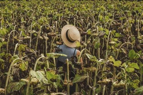 Woman In Straw Hat Standing In Sunflower Field Photo