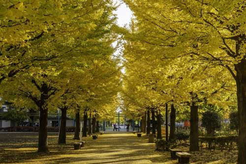 Yellow Fall Leaves In City Park Photo