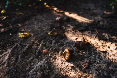 Acorns in the forest