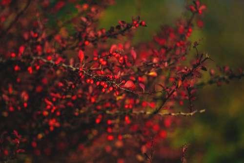 Autumn barberry 3