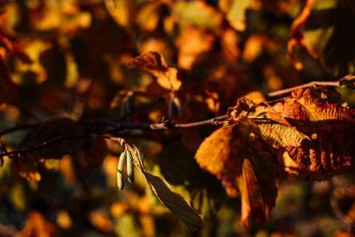 Autumn hazel tree branch