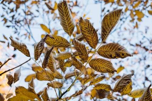 Autumn walnut tree leaves