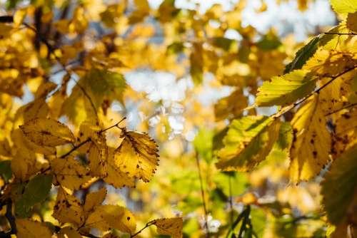 Birch yellow leaves