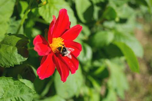 Bumblebee on the red flower