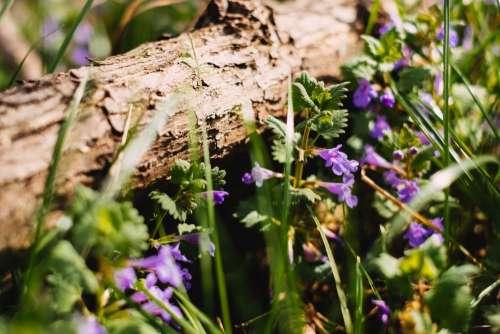 Common bugloss 2