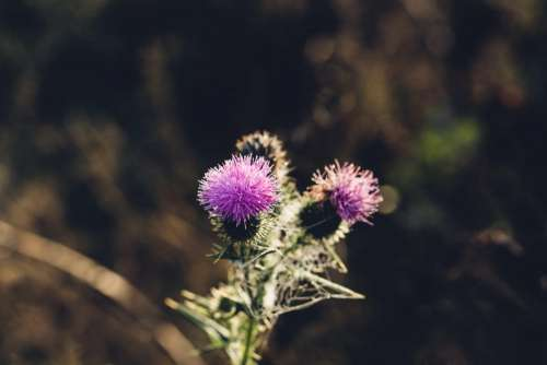 Dew on a purple thistle