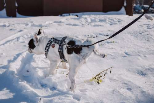 A dog peeing in snow
