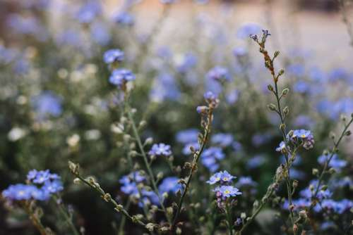 Forget-me-nots 5