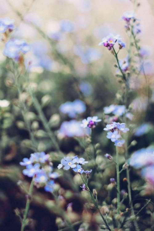Forget-me-nots 6