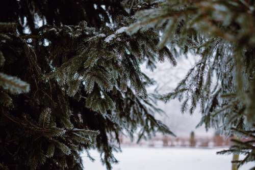 Frosted spruce 3