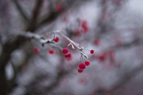 Holly berries 2
