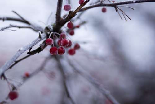 Holly berries 3