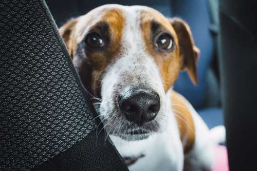 Jack Russell Terrier in the car closeup