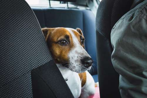 Jack Russell Terrier in the car closeup 2