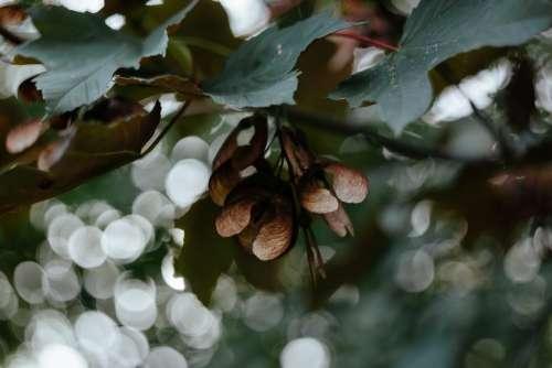 Maple tree bokeh
