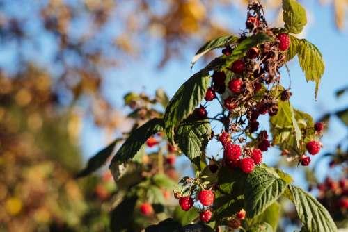 Raspberry bush 2