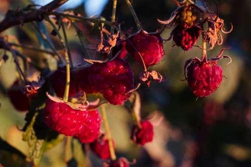 Raspberry bush closeup