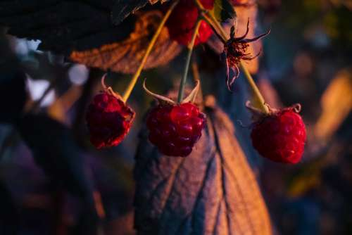 Raspberry bush closeup 3